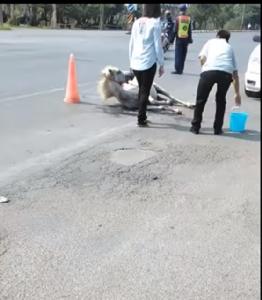 อันตราย! รถบรรทุกม้าทำม้าหล่นบาดเจ็บหนักกลางถนนไร้วี่แววเจ้าของ