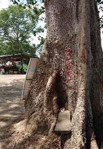 """""""พี่ศรี"""" ร้องรัฐบาลคัดค้านตัดต้นไม้เก่าแก่-หวงห้าม เพื่อขยายถนนจันทบุรี-สระแก้ว"""