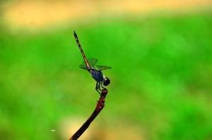 """""""แมลงปอ"""" ดัชนีชี้วัดคุณภาพแหล่งน้ำ ช่วยปราบศัตรูพืชและมากประโยชน์ทางเศรษฐกิจ"""