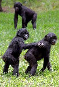 """ไม่ใช่แค่สังคมมนุษย์ """"แม่ลิงโบโนโบ"""" ก็ช่วยลูกหาสะใภ้"""