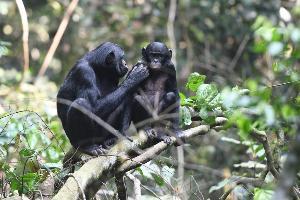 ภาพแม่ลิงโบโนโบจัดแต่งขนให้ลูกตัวผู้ภายในเขตอนุรักษ์พันธุ์สัตว์ป่าที่คองโก (Martin Surbeck / Max Planck Institute for Evolutionary Anthropology / AFP)