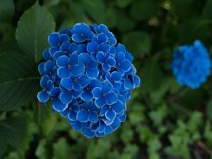 """ยลศิลป์ยินญี่ปุ่น : """"อาจิไซ"""" ดอกไม้หน้าฝน"""