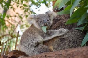 สวนสัตว์เปิดเขาเขียวชวนชมความน่ารัก 'ลูกโคอาล่า' สมาชิกใหม่ฉลอง 41 ปี