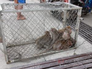 จนท.เข้าจับลิงภูเขาคูหาสวรรค์ทำหมัน หลังพบมีจำนวนเพิ่มขึ้นจนเดือดร้อนชาวบ้านพัทลุง