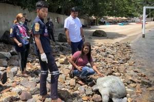 สุดเศร้า! เต่าตนุขนาดใหญ่ตาย คาดว่ากลืนถุงพลาสติกในทะเล