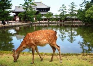 ญี่ปุ่นวอนนักท่องเที่ยวอย่าสัมผัสลูกกวาง เสี่ยงถูกแม่ทอดทิ้งจนตาย