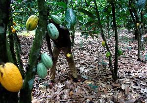 สวนโกโก้ในไอเวอรีโคสต์ (REUTERS/Thierry Gouegnon/File Photo)