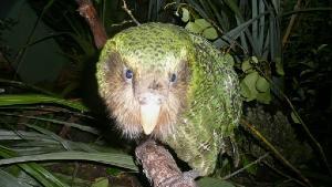 """ภัยใหม่ """"กากาโป"""" นกแก้วจอมอ้วนเสี่ยงสูญพันธุ์จากโรคร้าย"""