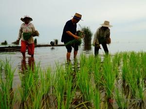 แค่ปีละครั้ง! ชาวลำปำลงทำนาริมทะเลสาบสงขลา ผลผลิตดี ไม่ต้องเสียเงินซื้อปุ๋ย