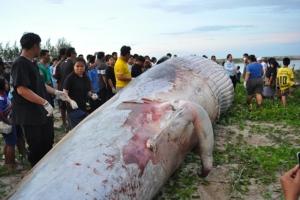 ทีมสัตวแพทย์ 15 คน ลงมือผ่าพิสูจน์ซากวาฬบรูด้า หาสาเหตุการตายแล้ว