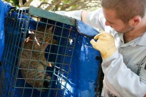 แมวจิ้งจอกที่ถูกดักจับมาเก็บข้อมูล (AFP / PASCAL POCHARD-CASABIANCA)