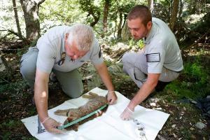 ปิแอร์ เบเนเดตตี  (ซ้าย) และ คาร์ลู-อองตง เซกเชนี (ขวา) ช่วยกันวัดขนาดตัวแมวจิ้งจอก  (AFP / PASCAL POCHARD-CASABIANCA)