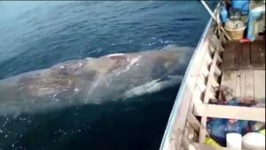 ตายอีกตัว! พบซากวาฬหัวทุยขนาดใหญ่ลอยอยู่กลางทะเลเกาะลันตา จ.กระบี่ ผ่าพิสูจน์หาสาเหตุ
