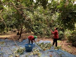 สองผัวเมียหนองคายเมินทำสวนยางตามกระแส เลือกปลูกเงาะแทนขายได้กว่าล้านบาท/ปี