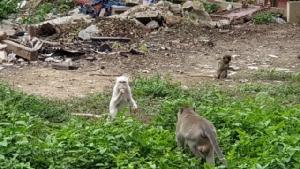 """พบ """"ลิงเผือก"""" สัตว์หายาก หลวงพ่อเผยมี 2 ตัว เชื่อเป็นลิงคู่บารมี"""