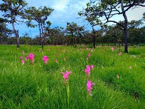 ภาพล่าสุด (11 ก.ค. 62) ทุ่งดอกกระเจียว อช.ป่าหินงาม (ภาพ : เพจ อุทยานแห่งชาติป่าหินงาม Pa Hin Ngam National Park)