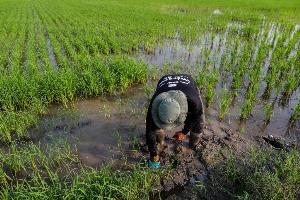 ชาวนาตรวจวัดระดับน้ำในการทำนาแบบเปียกสลับแห้ง