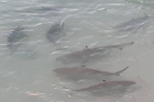 ฮือฮา ! ฉลามหูดำกว่า 100 ตัว โผล่ ว่ายน้ำหากินน้ำตื้นชายหาดเกาะห้อง