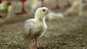 ไก่ในฟาร์มเฮ! หมดข้ออ้างเลี้ยงแบบทารุณ ผู้บริโภคเต็มใจจ่ายเพิ่ม