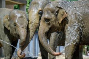 ช้างในเบอร์ลินเล่นน้ำคลายร้อน (AFP Photo/Tobias SCHWARZ)