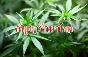 แฉขบวนการสกัดยากัญชาไทย! พบต่างชาติยื่นขอสิทธิบัตรนับร้อย