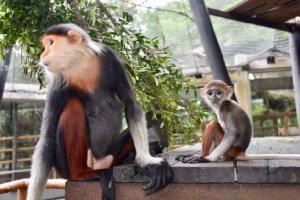 """สวนสัตว์เปิดเขาเขียวชวนนักท่องเที่ยวชมความน่ารัก """"ลูกค่างห้าสี"""" ช่วงหยุดยาว """"วันแม่แห่งชาติ"""""""