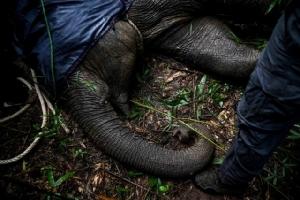 ภาพถ่ายเมื่อวันที่ 3 ส.ค. เผยให้เห็นเจ้าหน้าที่พิทักษ์ป่าพยายามช่วยชีวิตลูกช้างป่าวัย 6 ปี หลังจากพวกเขาจับมันได้ในป่าไผ่ในย่างกุ้ง