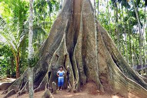 ต้นผึ้งยักษ์ต้นนี้ถือเป็นต้นไม้ที่มีพูพอนใหญ่ที่สุดในประเทศ