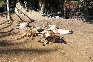 เสี่ยฟาร์มแพะสุดช้ำ! สุนัขจรจัดบุกกัดแพะตายคาโรงเรือนอื้อ ไม่รู้จะเอาผิดกับใคร
