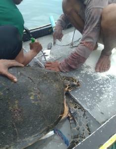 สลด !! พบเต่าทะเลถูกฉมวกยิงคอได้รับบาดเจ็บ เชื่อฝีมือนักดำน้ำยิงปลา