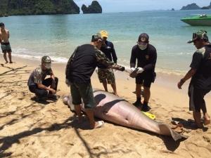 เศร้า! ผ่าซากพะยูนตายที่ไร่เลย์ กระบี่ พบถูกเงี่ยงปลากระเบนแทงติดเชื้อ เผยปี 62 เกยตื้นตายแล้ว 16 ตัว