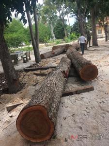 อึ้ง! เจ้าคณะคุมตั้งแก๊งโค่นไม้เถื่อนกลางป่า รอยต่ออุทยาน-ป่าสงวนนครฯ ยึดคาตออื้อ