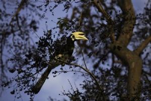 นกเงือกที่พบบนเกาะยาวน้อย