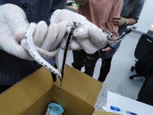 ด่านตรวจสัตว์ป่าฯ ตรวจยึดกล่องไปรษณีย์ 2 กล่อง พบงูสวยงาม 12 ตัว ส่งจากไต้หวัน