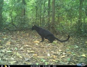 พบครอบครัวเสือดาวในพื้นป่าแก่งกระจาน เตรียมนำข้อมูลนำเสนอกับตัวแทน iucn