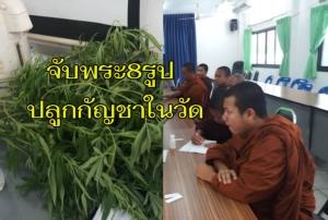 ตำรวจบุกจับพระเมืองช้าง 8 รูปปลูกกัญชาไว้ในวัด รับเพื่อทำยารักษาโรค