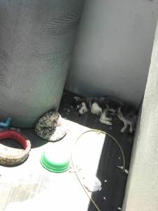 คนรักสุนัขเดือด! ไซบีเรียนถูกขังหลังบ้านไร้หลังคา ตากฝนตากแดดลำพัง