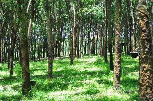 รมว.เกษตรฯ ยืนยัน ประกันรายได้ ชาวสวนยางพารา กิโลละ 60 บาท เริ่ม 1 ต.ค 62