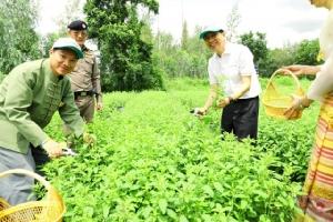 'ซีพีแรม' หนุนโครงการเกษตรกรคู่ชีวิต พลิกฟื้นที่ดินไร้ประโยชน์สู่แปลงกะเพรากว่า 7 ไร่ ให้กับชุมชนที่ลำพูน