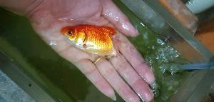 ทุกชีวิตมีค่า! สาวดูแลปลาทอง เนื้อเปื่อย-หางหลุด รอดตายปาฏิหาริย์