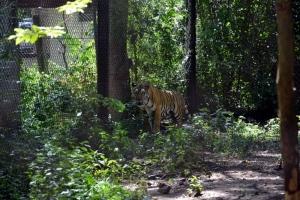 สถานีเพาะเลี้ยงสัตว์ป่าเขาประทับช้าง ปฏิเสธให้ข้อมูลเหตุเสือของกลางตาย