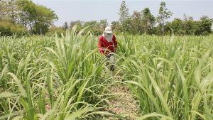 เกษตรกรไร่อ้อยกว่า 5 พันรายสมัครใจร่วมมาตรการจำกัดการใช้สารพาราควอต