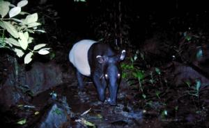 """พบภาพชัด """"สมเสร็จ"""" สัตว์ป่าคุ้มครองเดินโชว์ตัวหน้ากล้องดักถ่าย"""