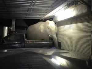 """ชาวบ้านหวาดผวา!!! """"ไอ้ด้วน"""" ช้างป่าละอู บุกพังร้านค้าราบเสียหายหนักทุกคืน"""