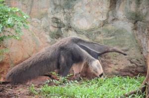 """ฮือฮารับปิดเทอม! สวนสัตว์โคราชเปิดตัวครั้งแรก """"หนูยักษ์-ตัวกินมด"""" ใหญ่ที่สุดในโลก"""