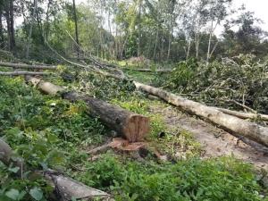 ชาวบ้านร้องมอดไม้ลอบโค่นต้นยางในป่าสงวน จ.ระยอง ไร้หน่วยงานสนใจ