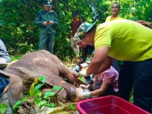 สุดยื้อ! ลูกช้างป่าโดนบ่วงรัดขาเสียชีวิตแล้ว หลังทีมสัตวแพทย์เฝ้าดูแลนับเดือน