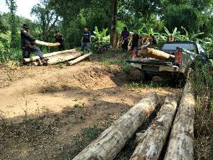 สดใหม่ทุกต้น..จนท.บุกจับหนุ่มแม่ทะ โค่นสัก-กระยาเลยลงเสาสร้างบ้านไม้กลางป่า