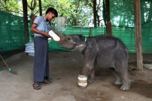 ไปดูจนท.พม่าประคบประหงมลูกช้างกำพร้าป้อนนม-ใส่เฝือกขา หลังเจ็บหนักติดกับดักพวกล่าสัตว์ป่า