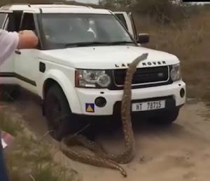 สยอง!งูหลามตัวใหญ่จะเลื้อยเข้ารถจิ๊ป นักท่องเที่ยวหนีอลหม่าน(ชมคลิป)
